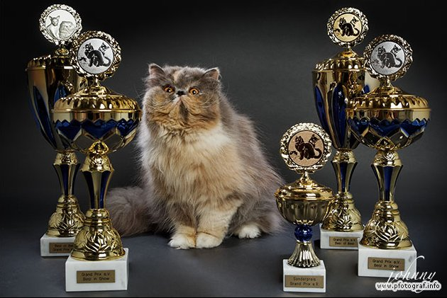 Perserkatze Grand World Champion Angel vom Taubertal